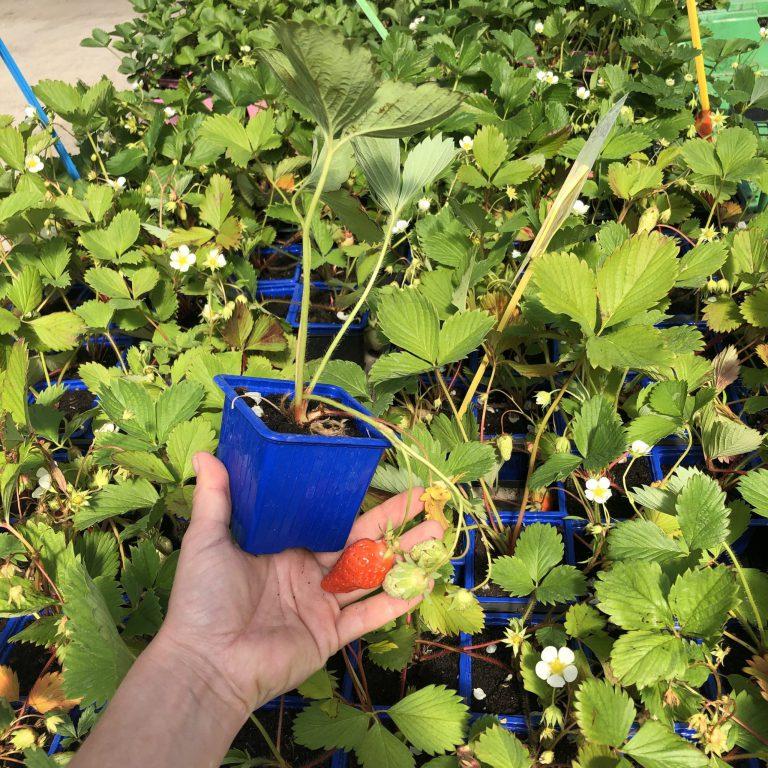 Nos plants de fraises de plusieurs variétés