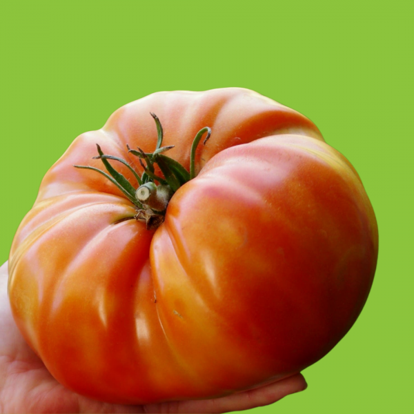 Tomate Russe